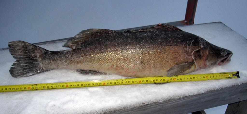 3,8kg / 65cm kuha Kolkkujärvestä