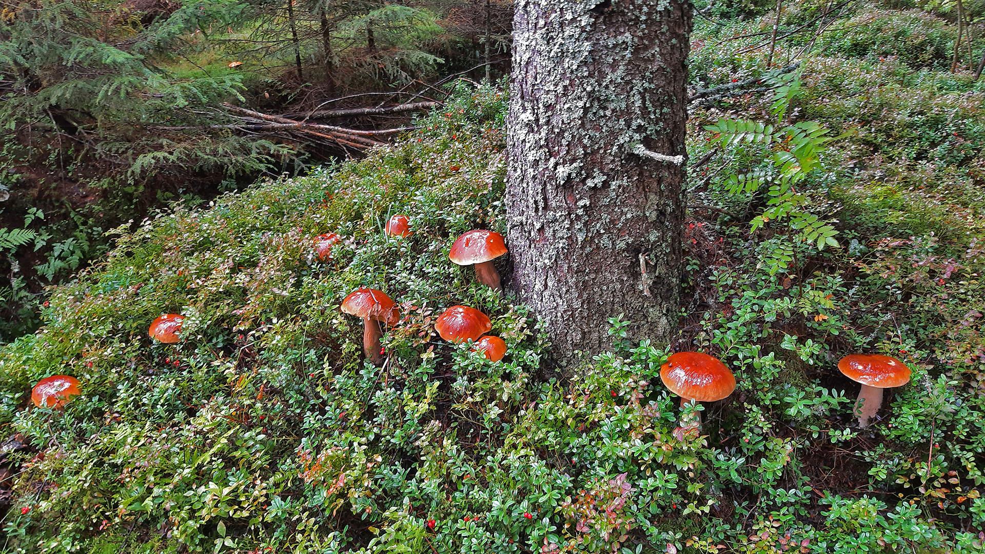 Syksyinen sienimetsä Kolkulla
